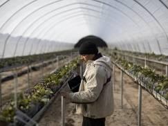 Tylko 0.7 proc. Polaków planuje podjęcie pracy sezonowej w UK w 2021 roku