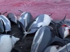 Na Wyspach Owczych doszło do największej w historii rzezi delfinów! Zabito 1,5 tys. zwierząt