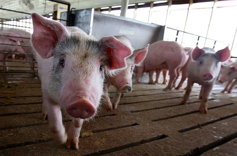 """Brytyjskie serwisy: Brytyjczycy są teraz oficjalnie """"grubsi od świń"""""""