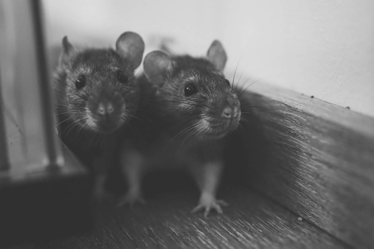 """Norwich: Szczur """"wielki, jak kot"""" wszedł do domu przez toaletę"""
